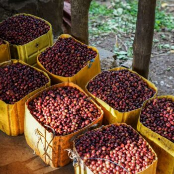 ETHIOPIA Tega&Tula KEWO</br><b>  Sweet /Caramelised / Raisin /             Cocoa / Orange / Jasmine ORGANIC Farming</b>
