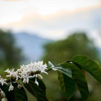 COLOMBIA Buesaco </br><b> Toffee / Citrus / Juicy- Sparkling / Sweet  </b>