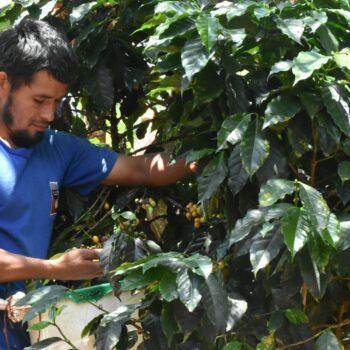 PERU Tomás Bueno Medina</br><b> Caramel / Peach / Apricot / Honey  Sweet / ORGANIC Farming</b>