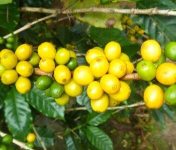 BRAZIL Ipanema Rio Verde</br><b>Yellow Catuai / </b>Caramel