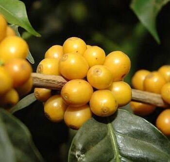 BRAZIL Ipanema Rio Verde</br><b>Yellow Bourbon / </b>Fruity cup profile